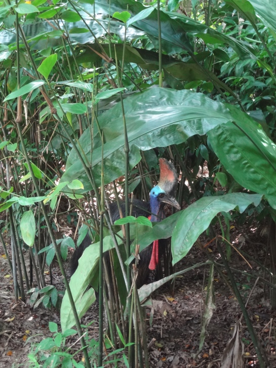 My first cassowary!